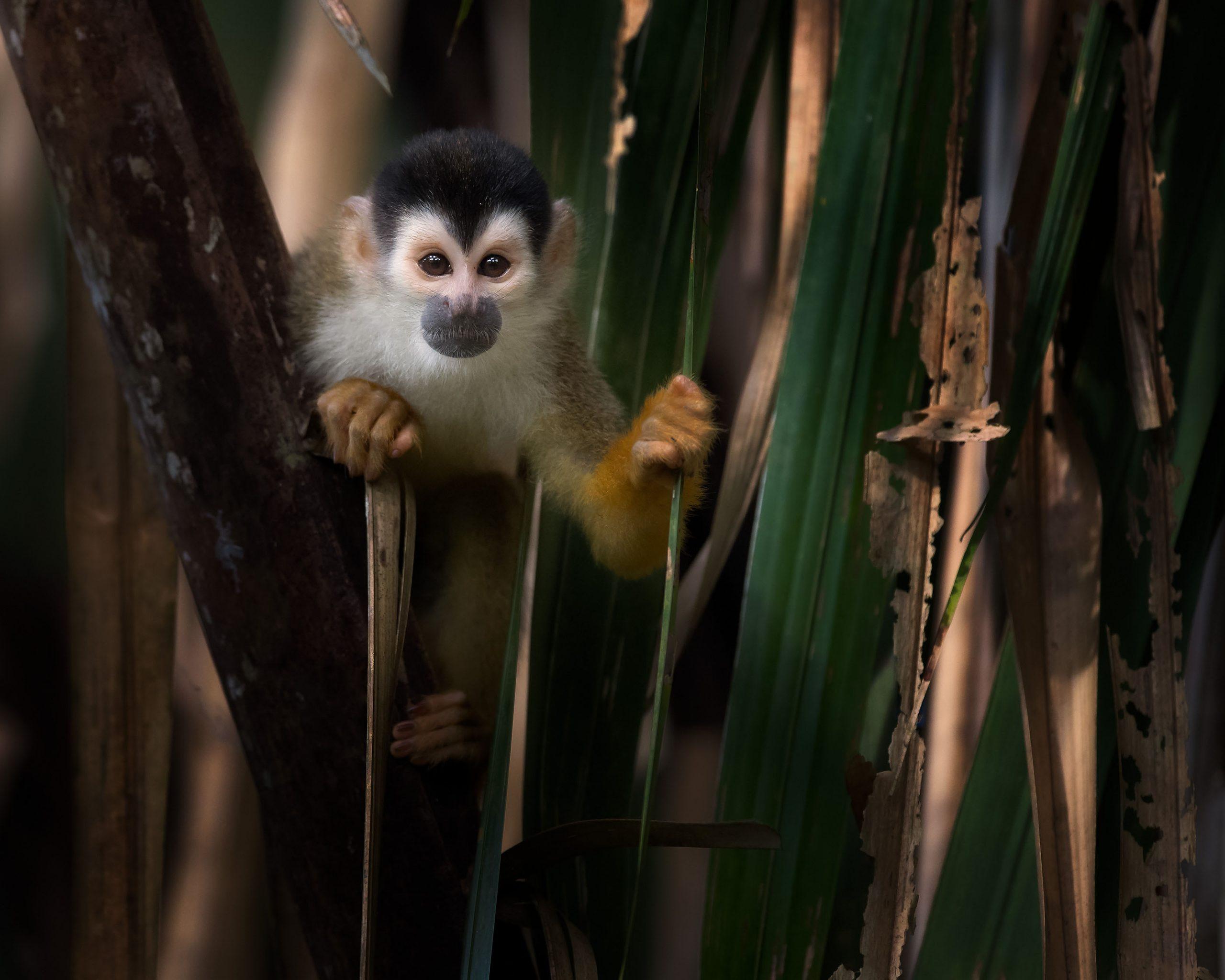 peeking-squirrel-monkey-flipped